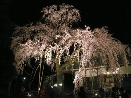 慈眼寺坂戸のしだれ2010.jpg