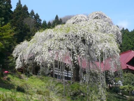 慈徳寺の種蒔き桜1.jpg