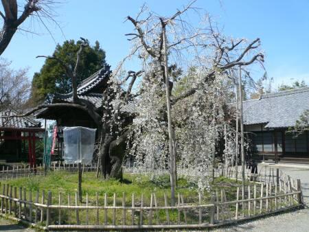 笑面寺の枝垂れ桜.jpg