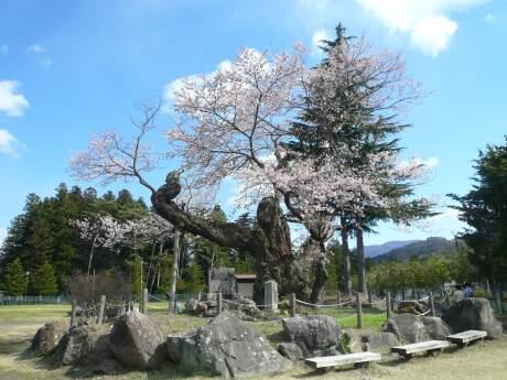 上杉謙信のさかさ桜(みなかみ町)1.jpg