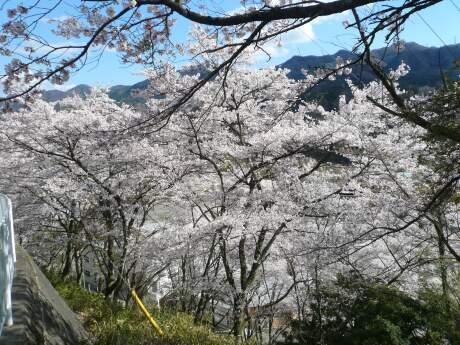新治小学校裏の桜1.jpg