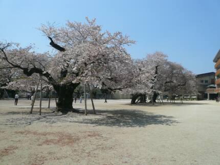 真鍋の桜1.jpg
