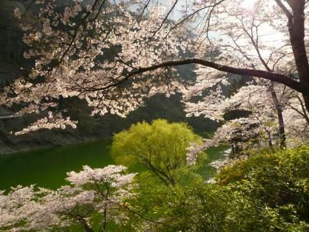 神流湖畔の桜3.jpg