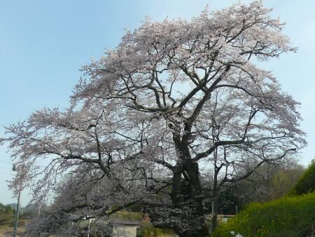 是哉寺地蔵桜.jpg