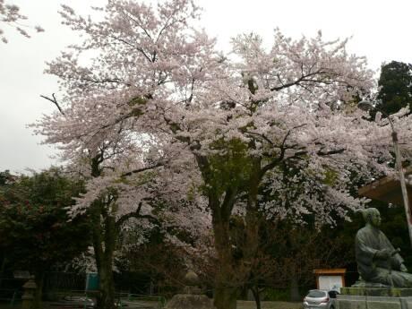 清河神社 桜1.jpg