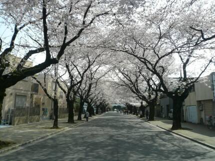 川越女子高校前の桜並木1.jpg