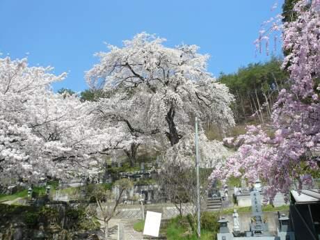 善徳寺の桜1.jpg