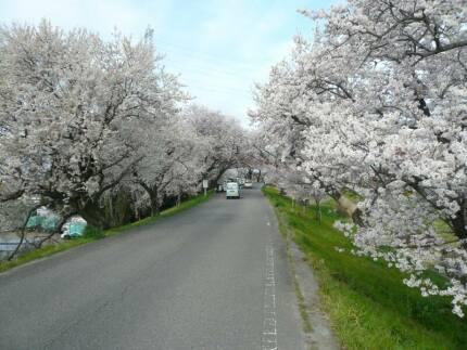 大野極楽寺公園の桜.jpg