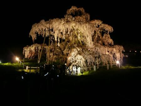滝桜 ライトアップ.jpg