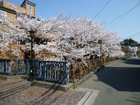 尾山橋付近の桜2.jpg