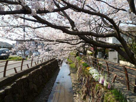 尾山橋付近の桜3.jpg