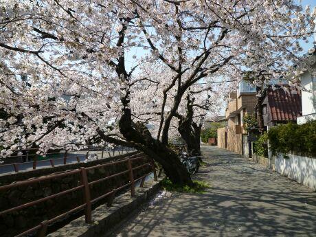尾山橋付近の桜4.jpg