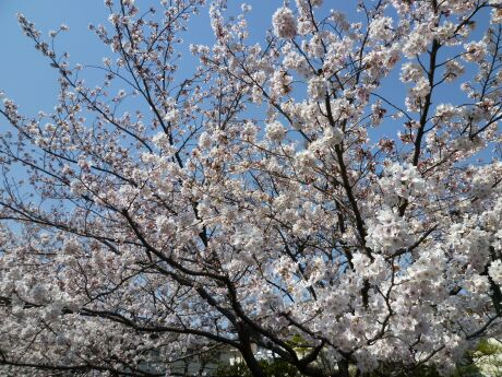 尾山橋付近の桜6.jpg