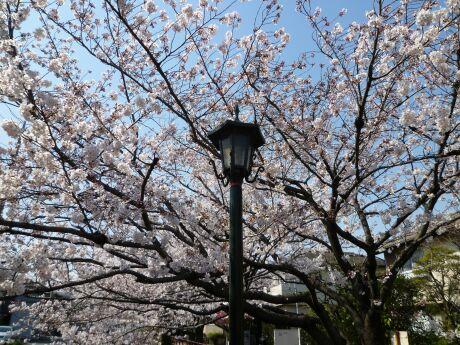 尾山橋付近の桜1.jpg