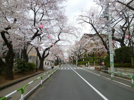 桜上水の桜.jpg