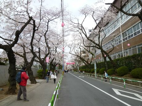 桜上水の桜2.jpg