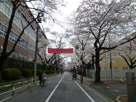 桜上水の桜3.jpg