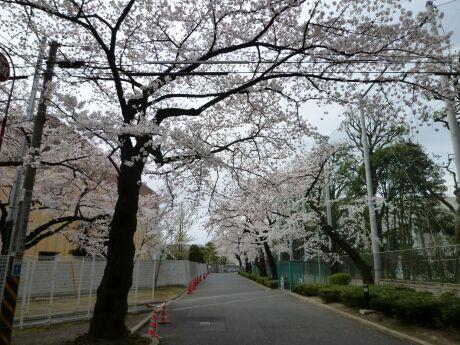 桜上水の桜4.jpg