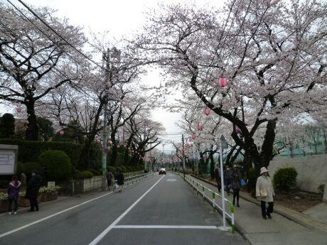 桜上水の桜5.jpg