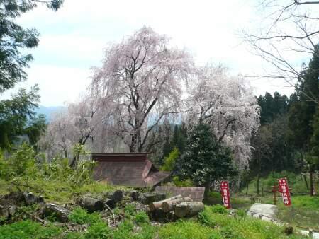 長谷堂城 桜1.jpg