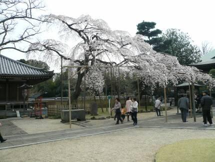 東漸寺の桜1.jpg