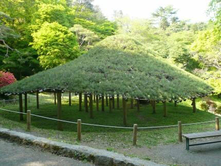 二本松城の傘松(樹齢300年).jpg
