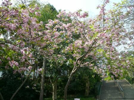 梅護寺数珠掛桜.jpg