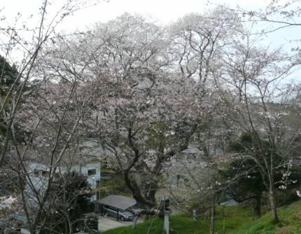 墨染の桜.jpg