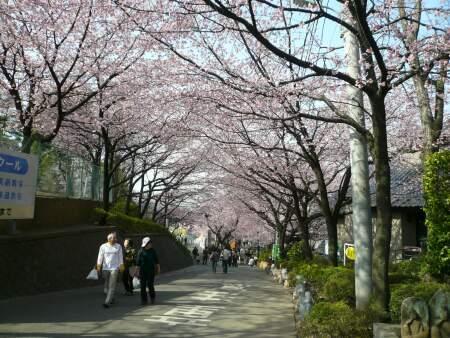 密蔵院の安行桜1.jpg