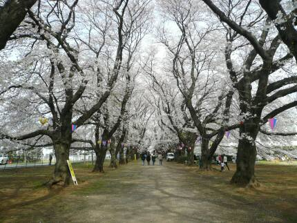無線山の桜1.jpg