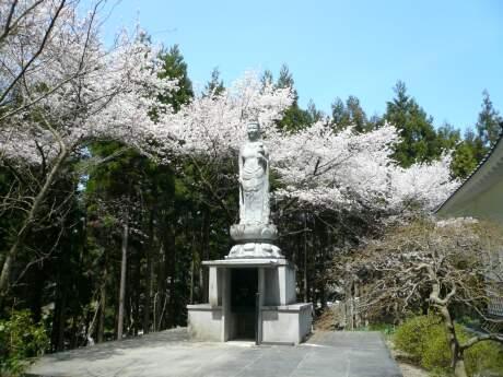 明徳寺 桜1.jpg