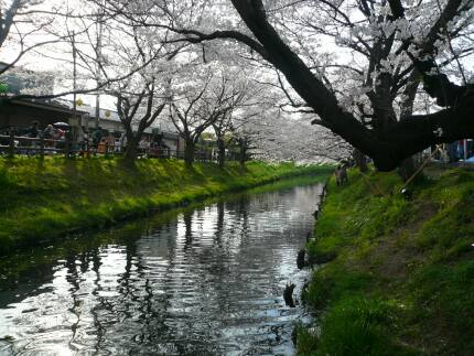 誉桜5.jpg