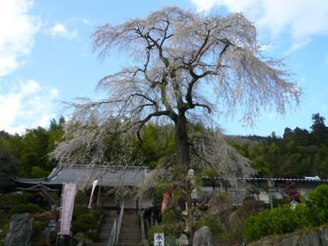 龍松寺のシダレサクラ.jpg