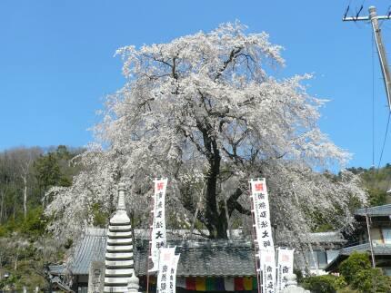 林陽寺のしだれ桜1.jpg