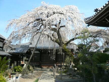 圓明寺の枝垂れ桜1.jpg