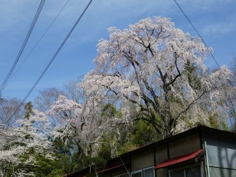 お城坂枝垂れ桜6.jpg