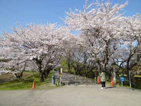 さきたま古墳群 桜.jpg