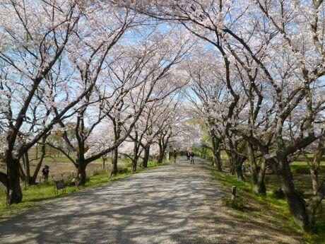 さきたま古墳群 桜2.jpg