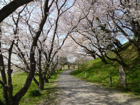 さきたま古墳群 桜3.jpg