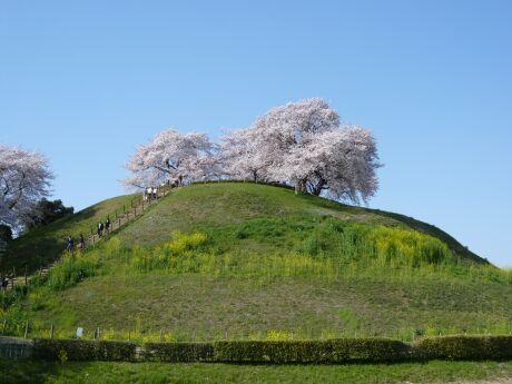 さきたま古墳群 桜4.jpg