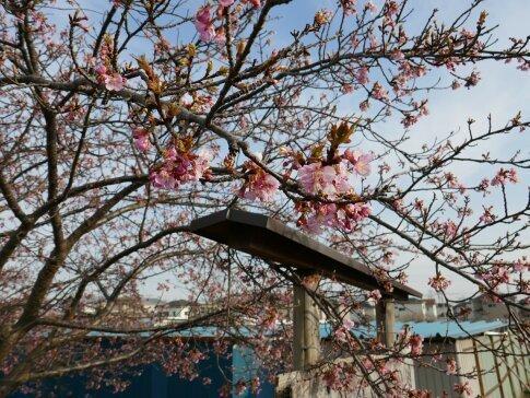すみよし桜.jpg
