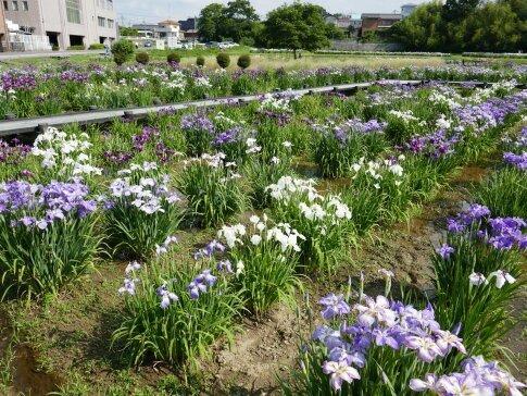 ときがわ菖蒲園4.jpg