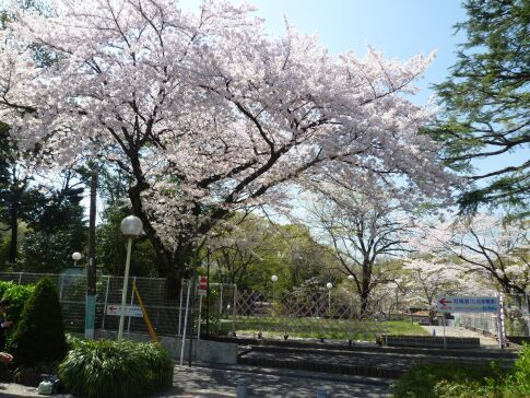 としまえんの桜1.jpg