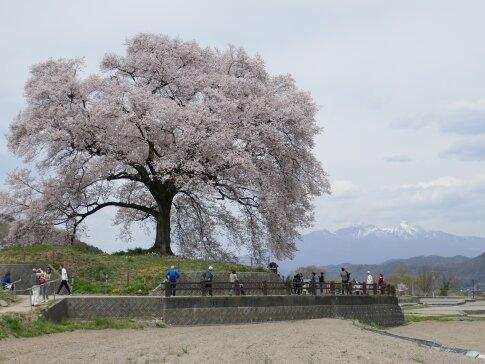 わに塚の桜201702.jpg