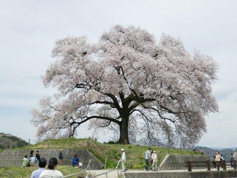 わに塚の桜201703.jpg