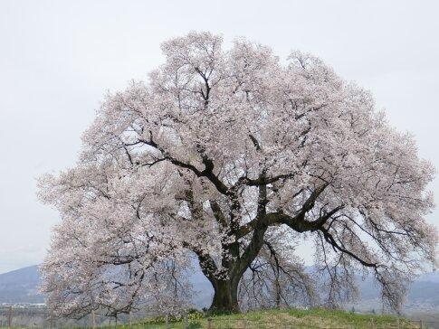 わに塚の桜201704.jpg