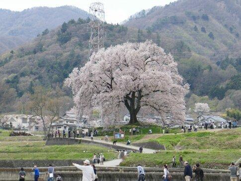 わに塚の桜201701.jpg