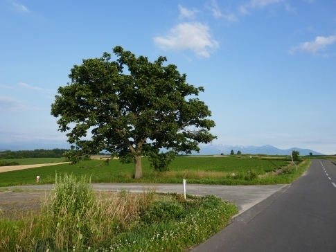 マイルドセブンの木2.jpg