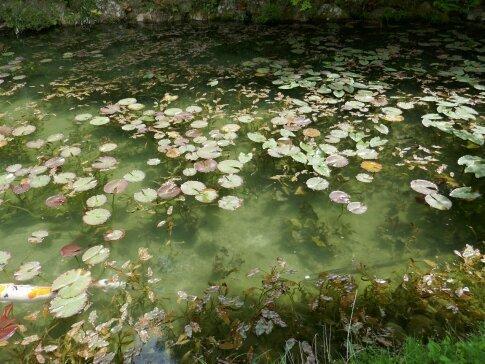 モネの池6.jpg