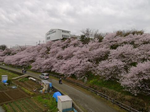 一の堰ハラネの春めき桜.jpg